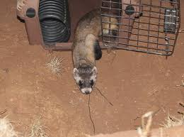 Black Footed Ferret Encyclopedia Of Life