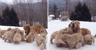 golden retriever puppies playing in snow.  Snow Just A Golden Retriever Playing With Her Nine Puppies In The Snow  TwistedSifter For In N