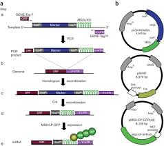 Method Of Procedure Template Gorgeous MTAG A PCRbased Genomic Integration Method To Visualize The