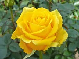 Image Moving Image Of Yellow Rose Google Chrome Image Of Yellow Rose 111ideas