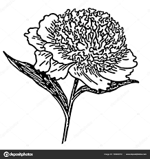 пышная пион цветок векторное изображение Littlemagic 158983572