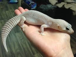 Leopard Geckos A Beginners Guide Leopardgeckos