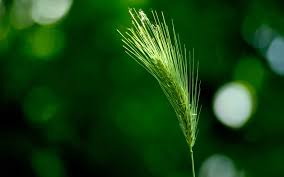 Green Wallpapers Green Wheat Wallpapers Customity