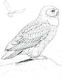 Barn Owl Coloring Page At Getcolorings Com Free Printable Snowy