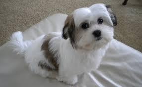 Cavachon Puppy Weight Chart Cavachon Dog Breed Standards
