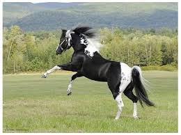 black and white paint horses running. Plain Running This Powerful Appaloosa Could Make A Good Caddaja To Black And White Paint Horses Running L