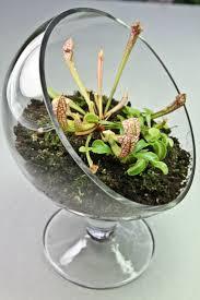 Carnivorous Plant Terrarium- 3 Plants with Elegant Sloped Glass Stand