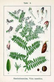 File:Vicia cassubica Sturm3.jpg - Wikimedia Commons