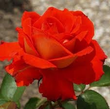 cute rose wallpaper 222931