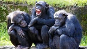 Resultado de imagem para chimpanzés brincando