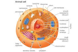 animal cells and the membrane bound nucleus animal cells vs plant cells