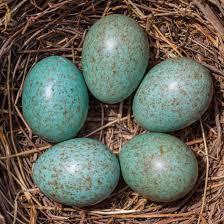 Light Blue Eggs In Nest Bird Egg Identifier Gardenbird