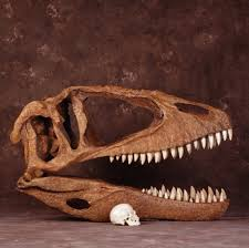 carcharodontosaurus size carcharodontosaurus skull with human skull posters prints by corbis