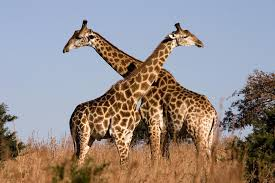 """Résultat de recherche d'images pour """"image girafe"""""""