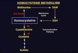 Homing In On Homocysteine The Scientist Magazine