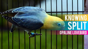 Lovebird Color Mutations Chart All About Split On Opaline Lovebird Lovebird Breeding Tips