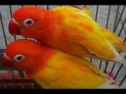 African Lovebird Breeding Cages