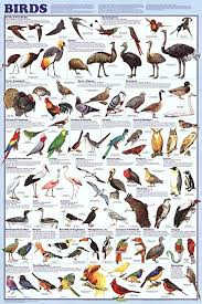 Laminated Birds Educational Science Chart Poster Print 36x24