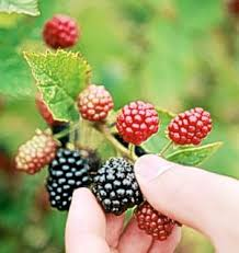 becca s book blog blackberry picking by seamus heaney divinity it s actually not at all difficult to write in praise when you ve got a poem such as this for inspiration