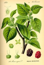 Illinois Everbearing Mulberry  Mulberry Trees  Stark Brou0027sMulberry Tree No Fruit
