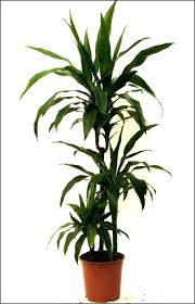 tropical office plants. Tall Office Plants Tropical House Photo Ideas K