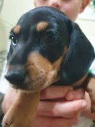 dachshund puppies in queensland dogs