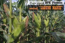 Gambar keseluruhan dari mesin penanam dan pemupuk jagung dapat dilihat pada gambar 45. Inilah Usia Pemupukan Jagung Manis Yang Tepat Menggunakan Pupuk Npk Berita Pertanian Mitalom