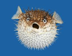 Resultado de imagen para puffer fish weekend