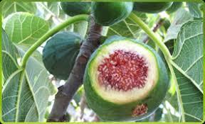 California Tropical Fruit TreesSouthern California Fruit Trees