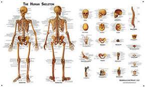 Details About Human Skeleton Skull Anatomical System Chart Models Anatomical Large Size