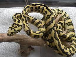 Jungle Jag Carpet Python For Sale Uk