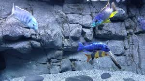 African Cichlid Aggression Chart Dealing With African Cichlid Aggression