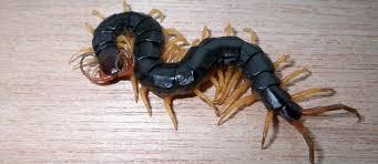 insectes etranges on dangereux araignees onaises