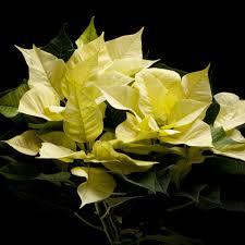 Weihnachtsstern Poinsettien Infinity Polar Weiss