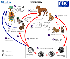 Cdc Toxocariasis Biology
