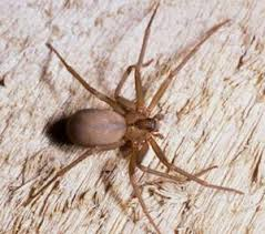 Ucr Spiders Site Brown Recluse Id