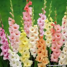 average american flower size pastel gladiolus mix american meadows