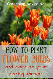 how to plant bulbs