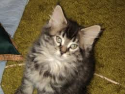 he is gorgeous cat that could be easily in magazines he is a gentle cat with beautiful colors thanks sheri