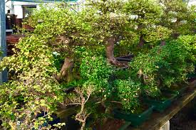 the uks finest selection of chinese elm bonsai trees chinese elm bonsai tree
