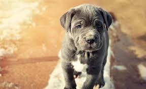 11 blue dog breeds blue coated