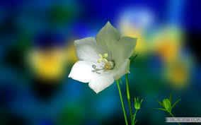 most beautiful flowers animated wallpapers. Unique Flowers White Flower Wallpapers Free Download With Most Beautiful Flowers Animated A