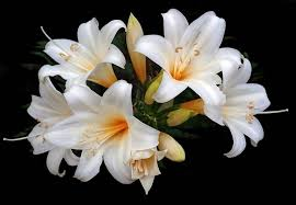 history of the easter lily