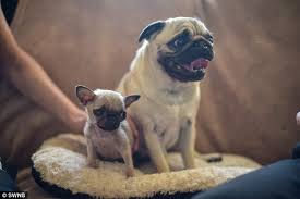 teacup pug full grown.  Pug The Runt Of The Litter Pictured With Her Mother Ruby Is A Purebred Pug With Teacup Pug Full Grown T