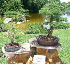 bonsai gardens. brazilian raintree. raintree bonsai gardens i
