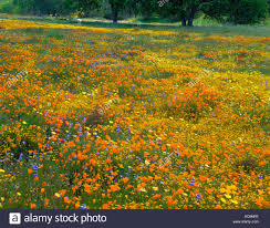 san luis obispo county ca meadow of spring wildflowers and valley oak trees