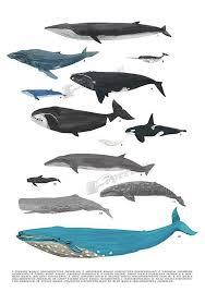 Whale Classification Chart Whale Art Print Nursery Room Decor Whale Art Poster