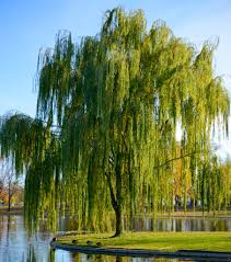 A beautiful tree with graceful cascading branches. Weeping Willows are heat  resistant, cold hard