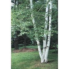 5.5-Gallon Paper Birch Feature Tree (L7304)