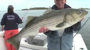 Striped bass bill ma